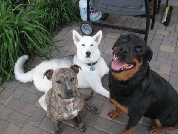 eating dog poop rottweiler and pitbull living together